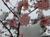 viburnum_bodnantense_dawn_20110926_2036001811